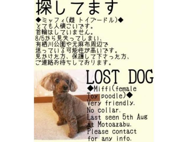 【無事保護!】愛犬トイプードルが迷子です